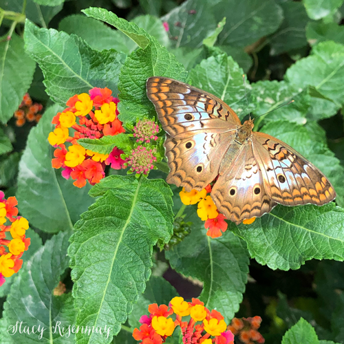lantana flower with butterfly